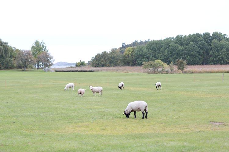 betande får i Fjärås Göteborg