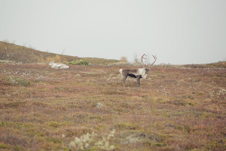 ren i Jämtlandsfjällen