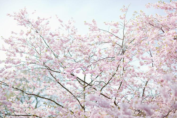 Blommande japanska körsbärsträd i Göteborg