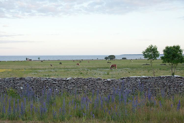 Islandshästar på Stora Gåsemora Fårö