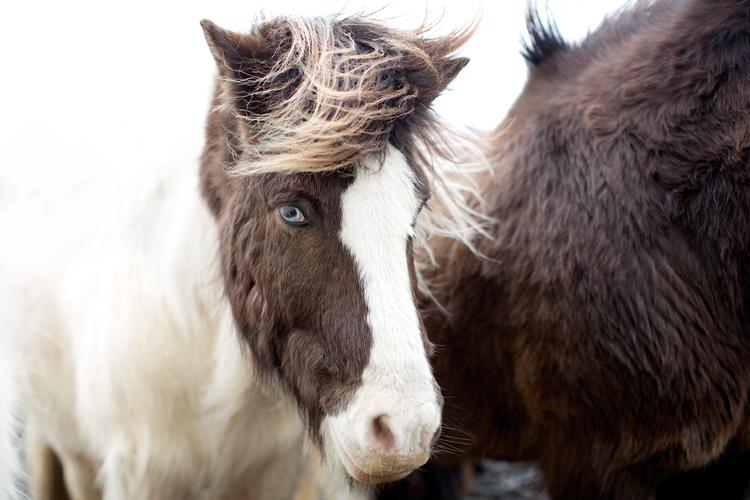 islandshäst med blått öga