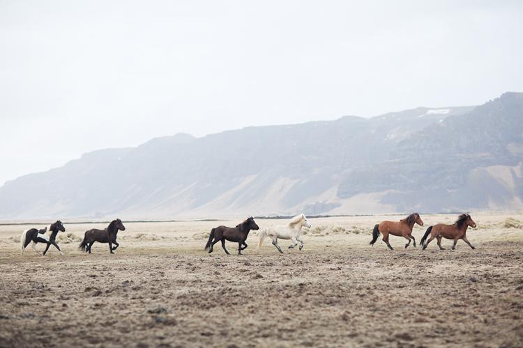 Hästar i galopp på fält Island