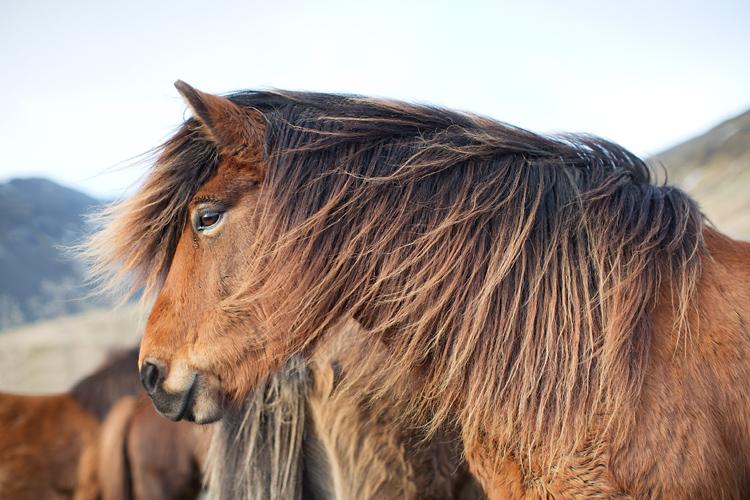 islandshäst med lång man