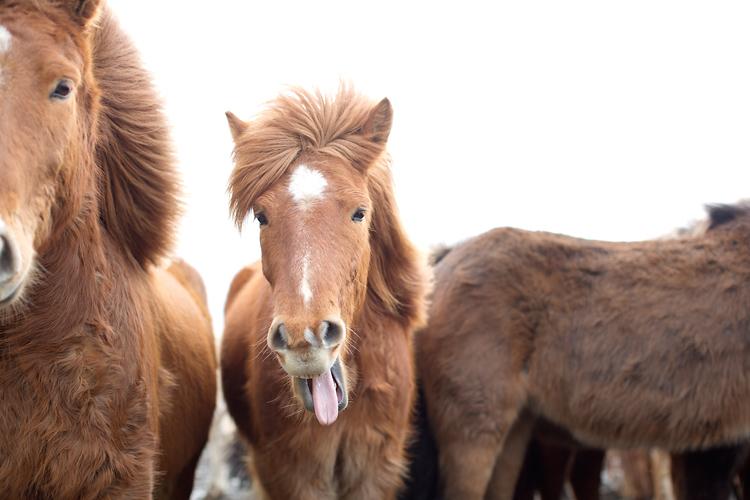 häst räcker ut tungan