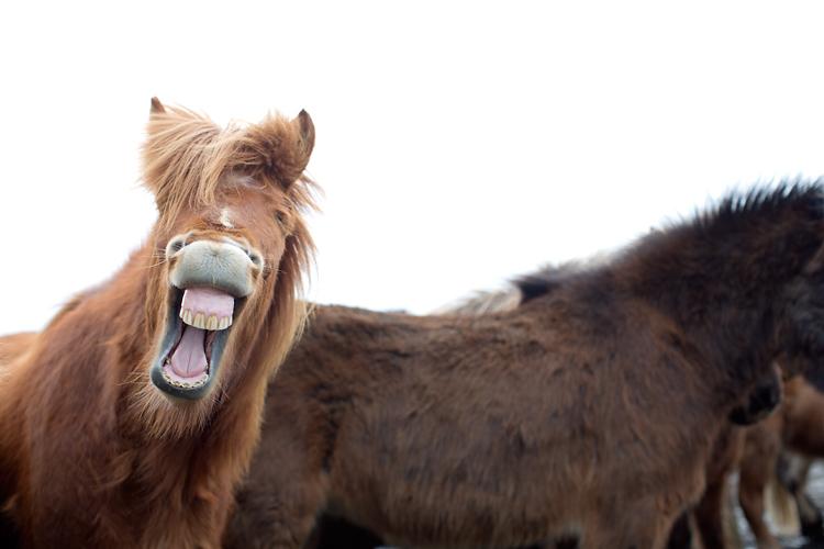häst som skrattar