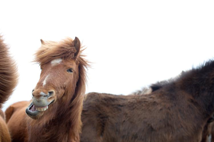skrattande häst