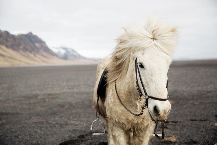 Islandshäst på Black beach Island